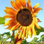 Botmedel mot vintertrötthet, solros, uppiggande, färgsprakande trädgård